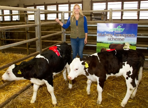 Irish Hereford Society Calf Show and Sale in GVM, Kilmallock las