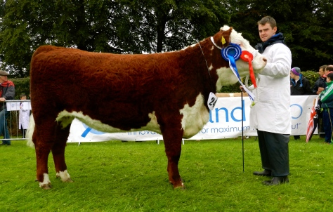 Reserve Senior Female of the year Gouldingpoll 1 Duchess 548 with David Goulding