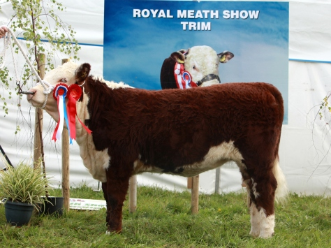 Champion  Heifer Calf Knockmountagh Cindy shown by owner Eamon McKiernan