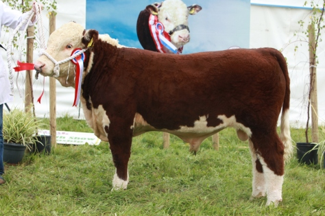 Champion Bull Calf Grianan Nobleman shown by T & A Fitzgerald
