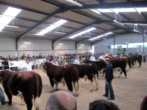 Judging in progress with Judge JJ Farrell at the GVM Show Arena at Tullamore