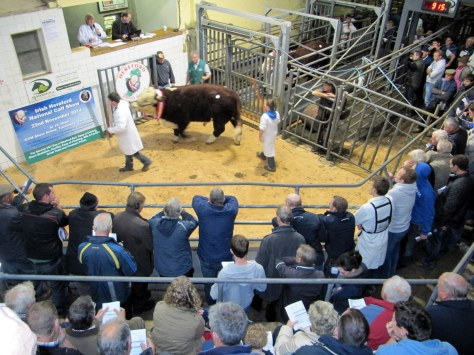 Auctioneer Hugh P Mulvihill brings down the hammer at €5,100 for the Champion Bull