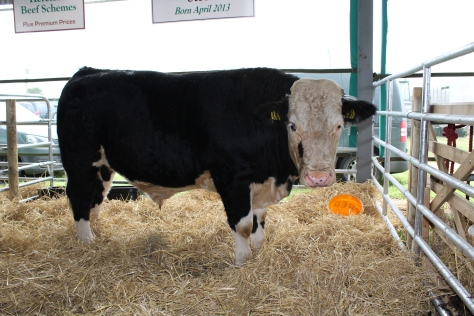 The 17.5 month old Hereford sired steer which had a slaughter weight of 407kgs. The steer was bred by John Canty, Kildalkey, Trim, Co Meath