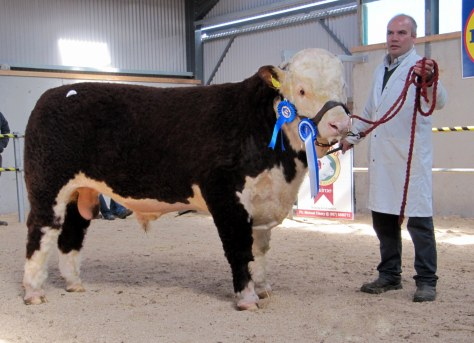 Reserve Champion and top price bull Moyclare Mariner sold at €6,100 exhibited by Michael Molloy