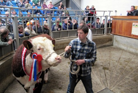 Champion Balleen Budget owned by Tom Brennan (in background) & shown by Owen Sheehy sold at the top price of €4,600