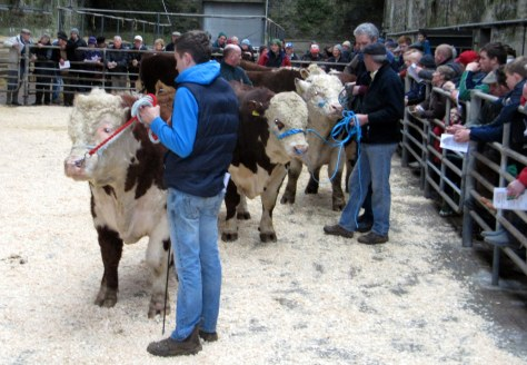 One of the largest crowds ever, attend the Hereford judging and sale at Bandon