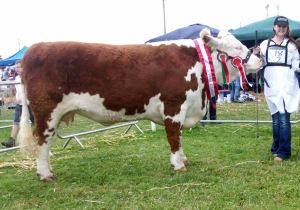 Champion Cow Gurteragh Jolly  Munster Senior Female of the year 2014 - Full sister to Gladiator