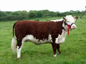 Corlismore Ursula National Heifer of the Year Tullamore 2011