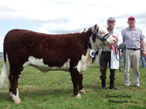 Supreme Hereford Champion - Loughrinn Lily 420 with Coote Geelan (exhibitor) and Eugene Lynch (judge).