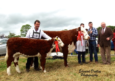 Female Champion Gouldingpoll 1 Duchess 548 pictured with Jack Goulding (handler), her calf at foot 1st prize winner Gouldingpoll 1 Duchess 671 with Matthew Goulding (exhibitor)