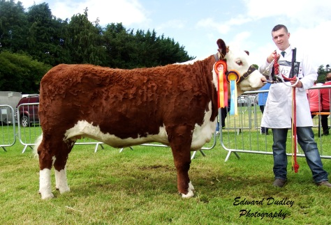 Reserve Hereford Champion - Grianan Cooperobin N679 with Niall Jones (exhibitor)