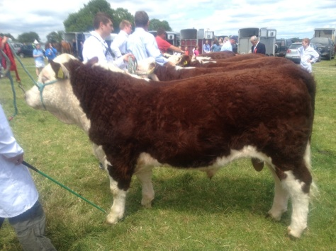 First in line: Reserve champion at Gorey Show, Clonroe Denis owned by John Jones.