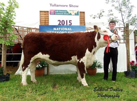 1st prize winner, Senior Hereford Cow in milk - Lakelodge Kathy 5 with Glenn Dudley (exhibitor)