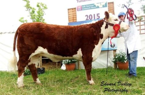 1st prize winner, Intermediate Yearling Hereford Heifer - Corlismorepoll 1 Lady 748 with Paul McKiernan (handler)