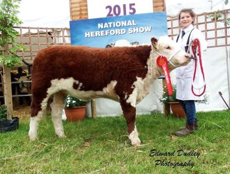 1st prize winner, Intermediate Hereford heifer calf - Ardmulchan Clover 656 with Catherine Smyth (handler)