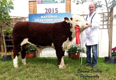 1st prize winner, Intermediate Hereford bull calf - River Rock Tyson with Tony Hartnett (exhibitor)