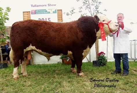 1st prize winner, Senior Hereford bull - Gurteragh Justice ET with Michael O' Keeffe (exhibitor)