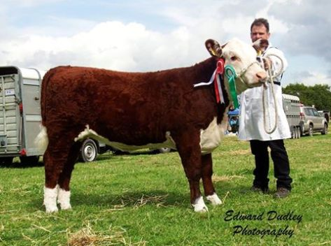 Reserve Hereford Champion 'Gouldingpoll 1 Lucy 641' with Matthew Goulding (exhibitor)