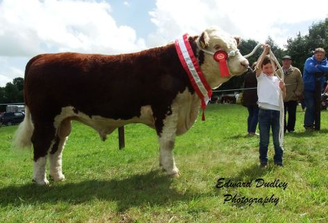 Premier Hereford bull calf of the Year - 'Grianan Oscar' with Dara Fitzgerald (handler)