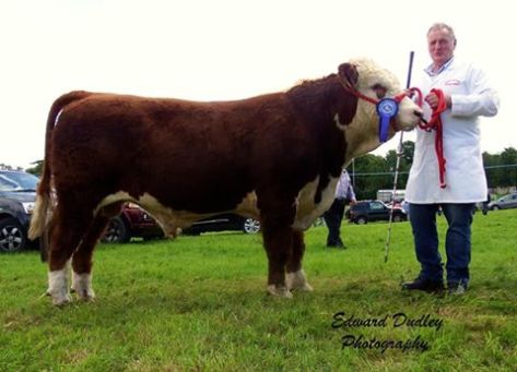 Reserve Premier Hereford bull calf of the Year - 'Gurteragh Obama' with Michael O' Keeffe (exhibitor)