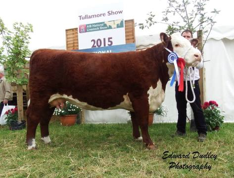 Reserve Female Champion - Gouldingpoll 1 Duchess 548 with Matthew Goulding (exhibitor)
