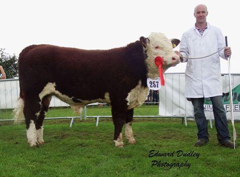 Munster Junior Bull of the Year 2015 - River Rock Tyson with Tony Hartnett (exhibitor)