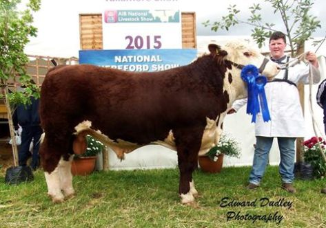 Reserve National Hereford Bull calf of the Year - Cavehill General 2 with Patrick Farrell (handler)