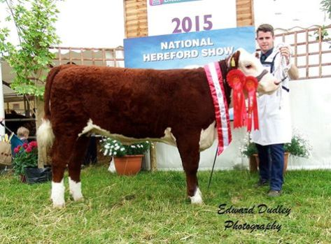 National Hereford Heifer calf of the Year - Gouldingpoll 1 Lucy 641 with Jack Goulding (handler)