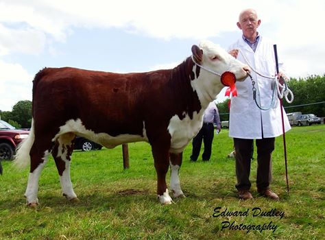 Reserve Premier Hereford heifer calf of the Year - 'Banteer 1 Gem' with Anthony McCarthy (exhibitor)