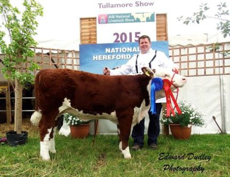 Reserve National Hereford Heifer calf of the Year - Kiltennel Poll 1 Amy with John Murphy (exhibitor)
