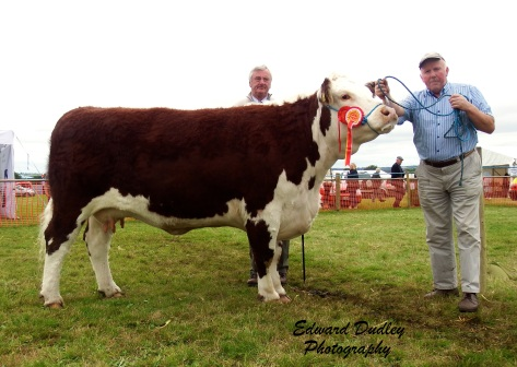 Supreme Hereford Champion 'Lakelodge Kathy 5' with Trevor Dudley (handler) and Seamus Neary (judge)