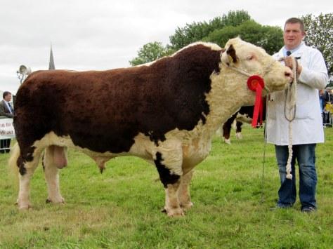 Winner senior bull calss Glaslough Karl shown by Nigel Heatrick
