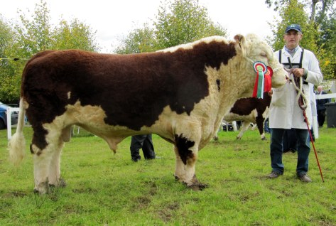 Reserve Champion and winner Senior Bull Class Glaslough Levi with Ivor Anderson.