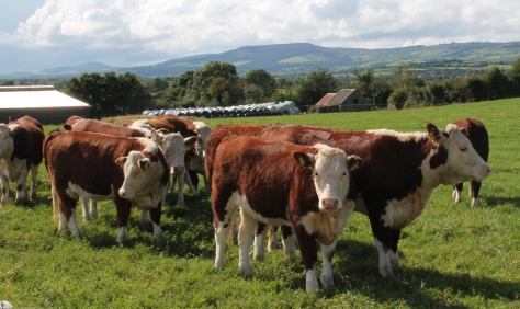 Group of Heifers at 'Dareens Herd'