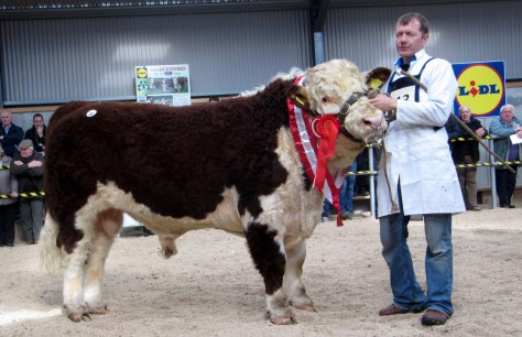 Champion Bull Clooncullane General 2nd, Sean Neary shown by Coleman Neary Sold at €3,800 to John Law