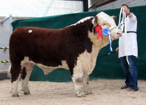 Reserve Champpion Bull Grianan Oscar, T & A Fitzgerald sold at €4,000 to Gerry Looby
