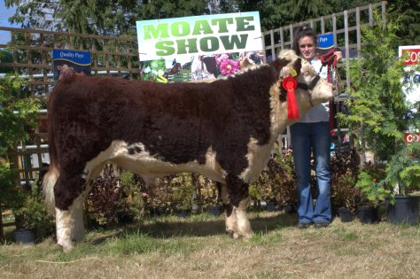 Trillick Knockout Crowned UK Horned Hereford Bull of the year pictured above at Moate show 2014 with Clare Farrel
