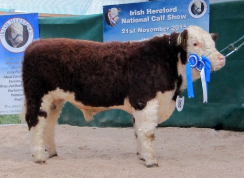Reserve Junior Male Champion Kilsunny Leyton Owner Trevor Dudley