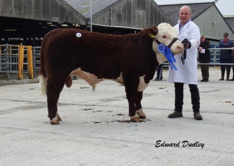 Reserve Champion Moyclare Nugget with Michael Molloy (exhibitor)
