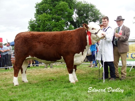 Overall Female Champion Gouldingpoll 1 Duchess 591 with David Goulding (handler) with Mr Coote Geelan, Judge