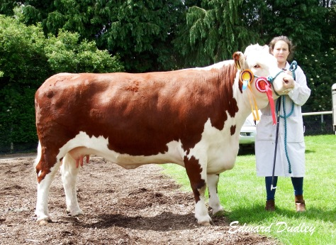 Reserve Supreme Hereford Champion Lakelodge Kathy 5 with Susan Dudley (handler)