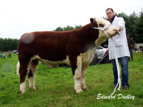 Reserve Premier Bull of the Year, Grianan Prince with Anselm Fitzgerald (exhibitor