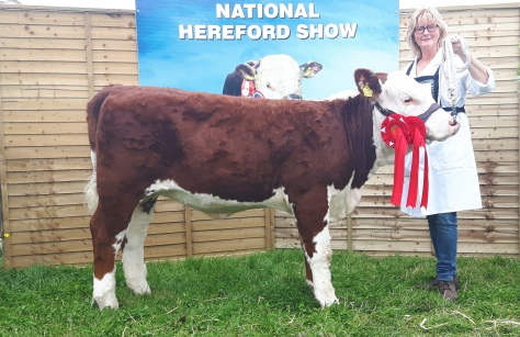 Heifer Calf Champion Gouldingpoll 1 Duchess 742 with Rita Goulding