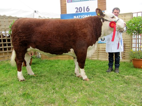Junior Cow class winner Gouldingpoll 1 Duchess 591 with owner Matthew Goulding