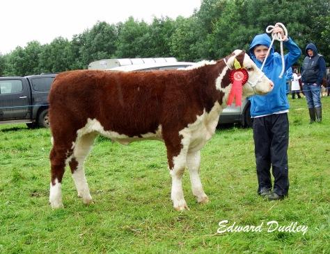 1st prize winner, Junior heifer calf, Grianan Orange P769 with Dara Fitzgerald (handler)