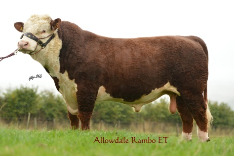 Allowdale Rambo 468 sire of the top price bull Allowdale Rambo 475 which sold at €5,750 to G Buchanan, NI