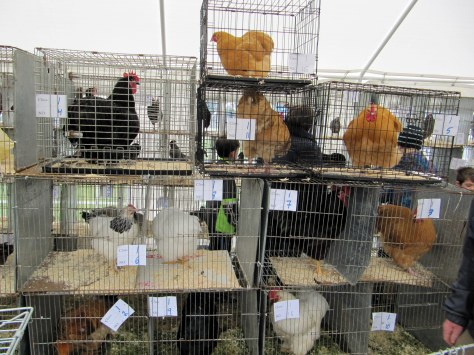 Multi-coloured hens of all breeds are on display
