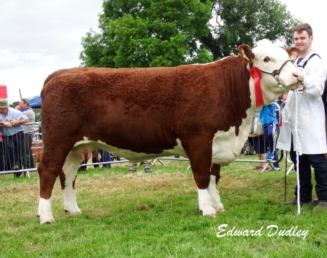 Supreme Hereford Champion Gouldingpoll 1 Duchess 591 with David Goulding (handler)
