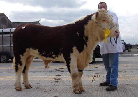 Top Price Bull Coisceim Hector with owner Timmy Breen - €3,400
