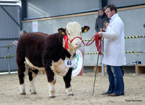 Winner Nov- Dec born bull Corlismore Ted 832 with Gary McKiernan